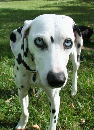 ダルメシアン - Google 検索 | Dalmatian | Pinterest (107988)