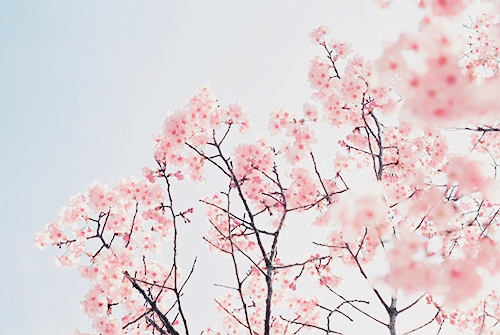 Cherry Blossoms | We Heart It (129128)