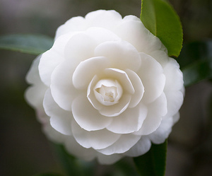 Camellia | We Heart It (129690)